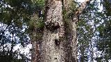 06 - It is not as high as Tane Mahuta but has an even wider trunk with a girth of more than 16m.jpg